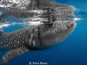 Lunch Date.A Remora detaches from a Whale Shark during a ... by Nina Baxa